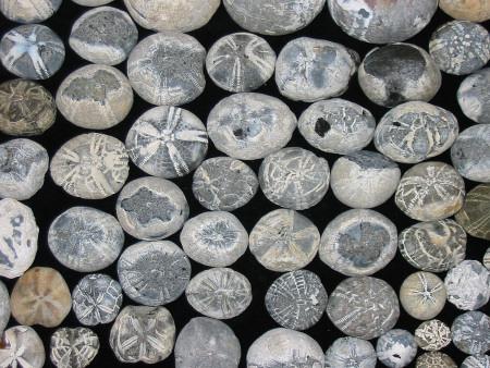 Flint, Echinoids Fossils