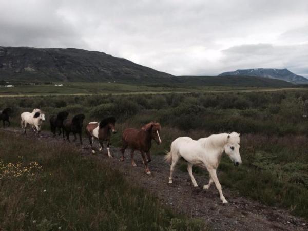 Icelandic Ponies at Geyser