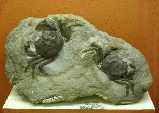 Fossil Crabs