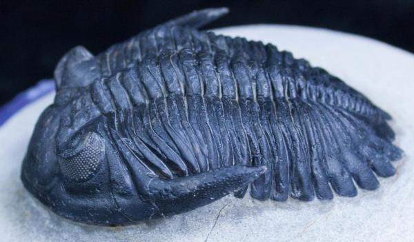 Fossil - Trilobite