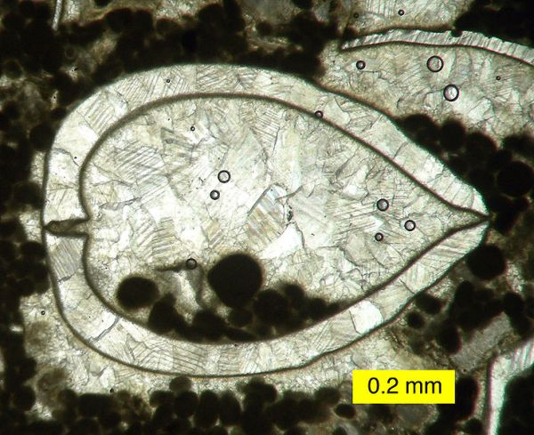 Calcite Crystals inside recrystallized bivalve shell. by Wilson