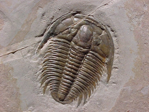 2.  Cambrian Age Fossol, Trilobite. by Unknown