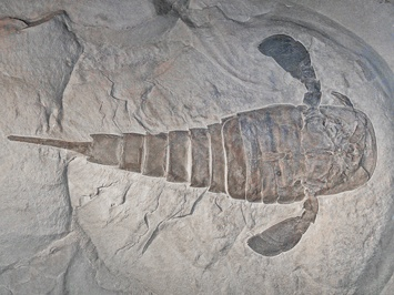 4.  Silurian Age Fossil. Eurypterus_remipes NY.  cc_by_sa_3-0_H_Zell_photo_300