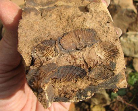 AL Miss Age Brachiopods, St. Clair Co.