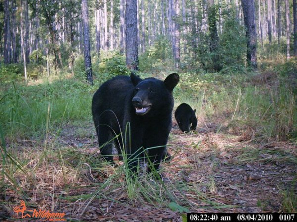 AL. Black Bear and Cub. photos.al.com