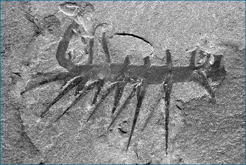 Cambrian critter. evolution.berkeley.edu