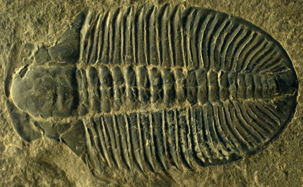 Cambrian, Trilobite, Ogygopsis klotzi. 500mya. from everystockphoto
