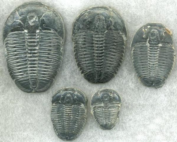 Cambrian Trilobites. By John Alan Elson - httpwww.3dham.com3dtribcol, GFDL, httpscommons.wikimedia.orgwindex.phpcurid=17847332