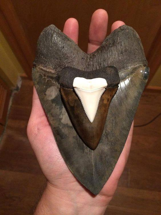 Megladon - 6-5.8. Fossil Great White, 3-1.8. Great While, 1-1.2 inch teeth. Amazing Geologist