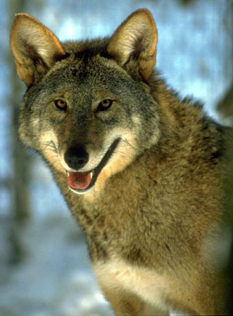 RedWolf. Photo Credit Barron CrawfordU.S. Fish - Wildlife Service
