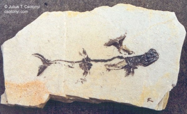 Devonian, Anvil Shark. Stethacanthus. paleopedia. tumblr.com