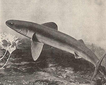 Devonian Shark, Cladoselachida. Public Domain