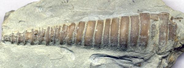 Ordovician.  Nautoloid, Treptoceras. KY. commons.wikimedia.org