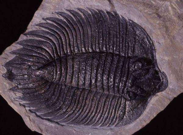 Silirian, Trilobite, New York trimerus delphinocephalus