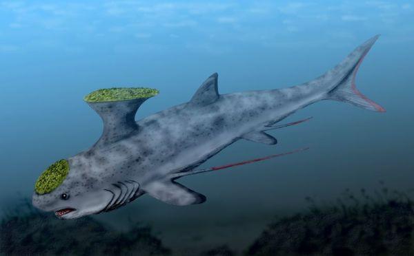 Miss. Akmonistion Shark, Symmoriida. 03-16-08.  by Nobu Tamura, spinops.blogspotStethacanthus_BW