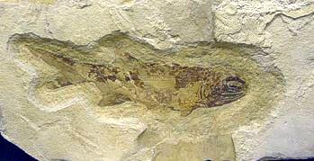 Mississippian Shark. Fergus Co., MT,
