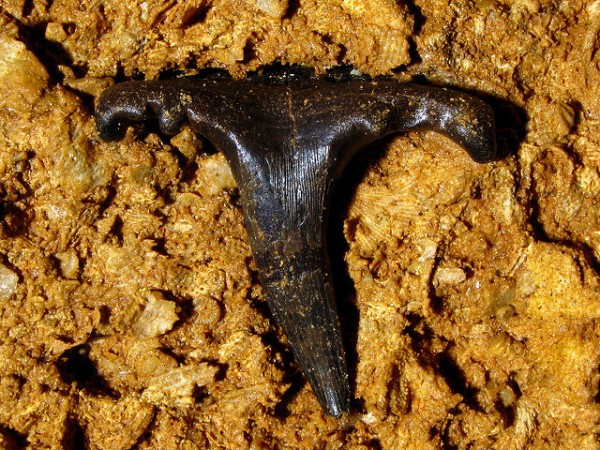 Mississippian Sharks Tooth, 09-22-07. cladodont or saivodus (ctenacanthus family) st. louis limestone west cave putnam co tn 3, by Alan Cressler