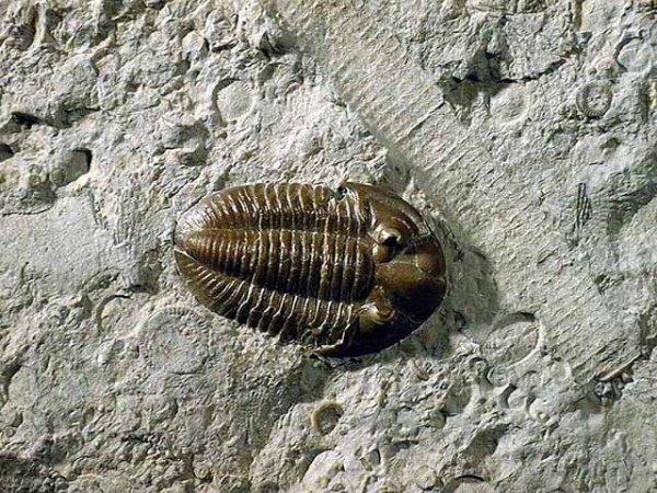 Mississippian Trilobite, Metazoan.  ww2.humboldt.edu