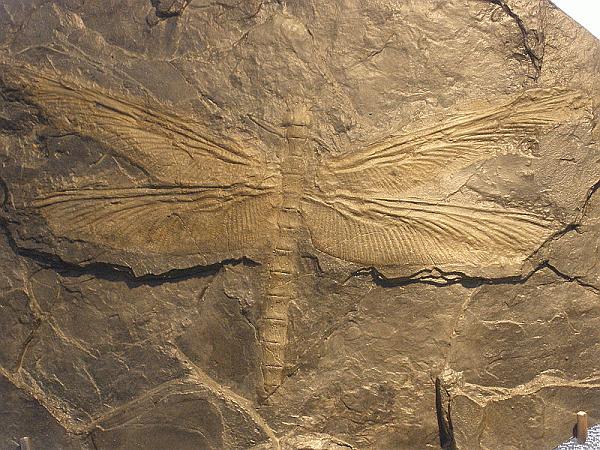 pennsylvanian-dragon-fly-30-in-meganeura-by-hudsonvalleygeologist-blogspot-com