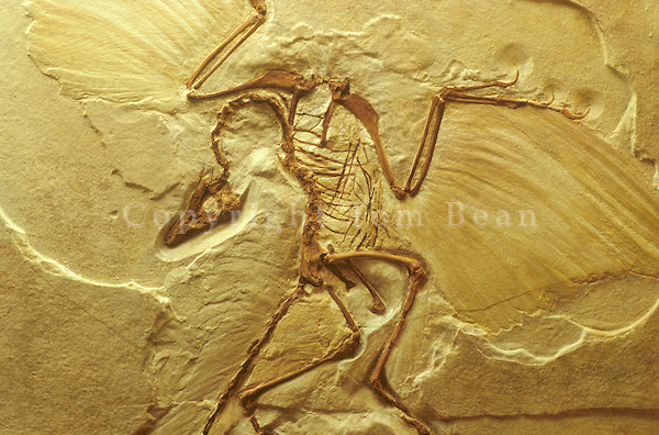 Archaeopteryx, cast of  fossil bird, 145 Million years old, Late Jurassic Period, Germany