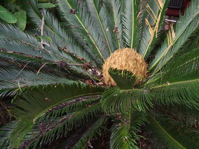jurassic-cycad-flower-plants-imgarcade-comjpg