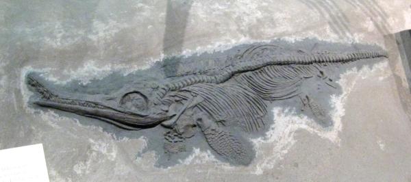 jurassic-ichthyosaur-early-jurassic-england-fossilsandotherlivingthings-blogspot-com