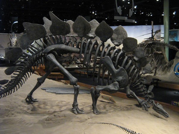 jurassic-stegosaurrus-armoured-dinosaur-dinosaurs-fossil-skeleton-jurassic-plates-spikes-blogevolved-blogspot-co-uk