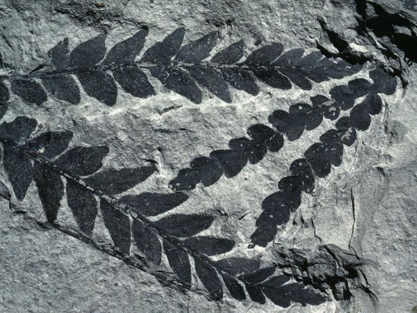 triassic-dicroidium-tree-like-seed-fern-south-island-new-zealand-ng-by-george-mobley