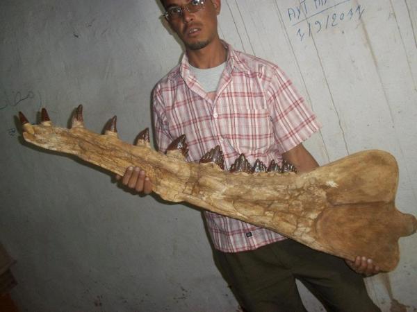 al-eocene-complete-basilosaurus-marine-mammal-tooth-pre-megalodon-picclick-com
