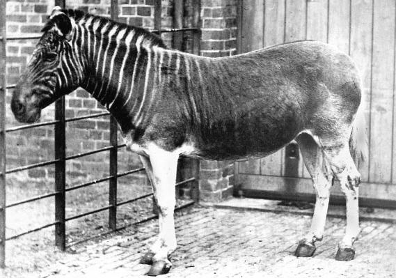 holocene-quagga-d-1883-1903-by-frederick-york
