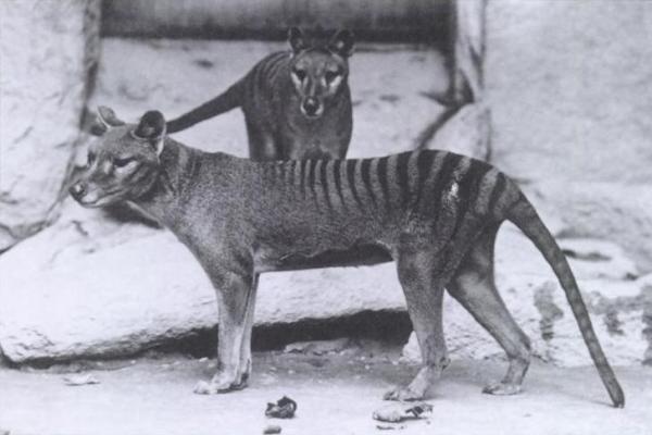 holocene-thylacinus-tasmanian-tiger-or-wolf-d-1936-1904-baker-e-j-keller