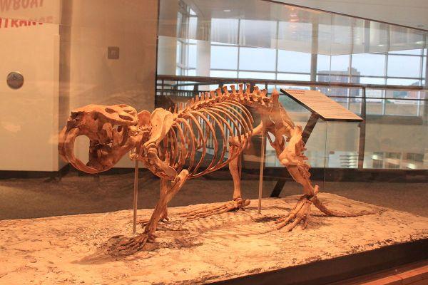 pleistocene-giant-beaver-castoroides-ohioensis-05-24-2012-by-ryan-somma-minnesota-science-museum