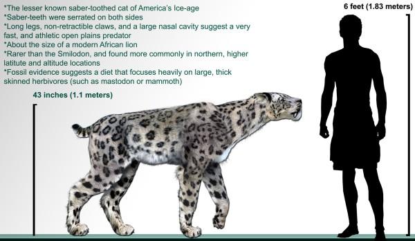pleistocene-sabre-tooth-cat-homotherium_serum_life-restoration-megafaunaful-tumbir-com